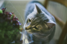 My Cat Likes Lettuce! Can Cats Eat Lettuce? Is It Safe to Feed to Cats?
