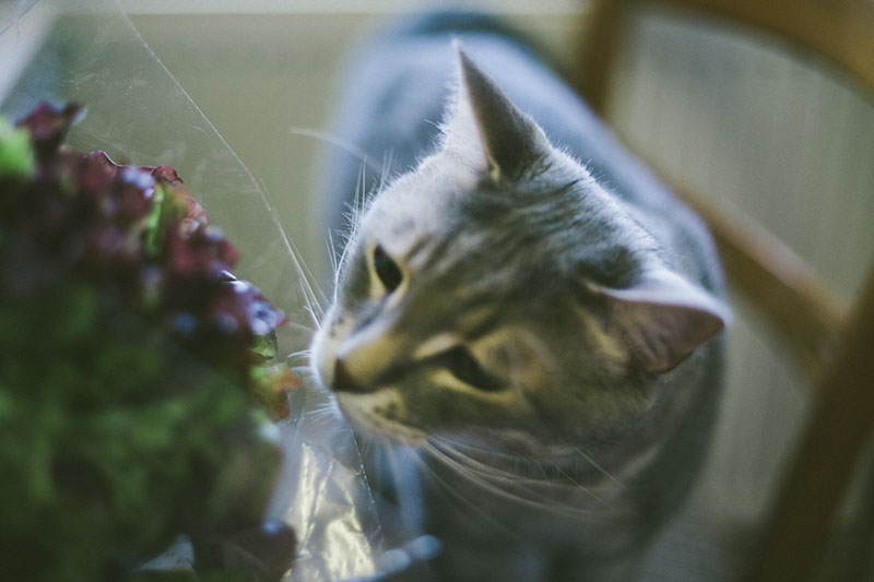 can-cats-eat-lettuce-is-it-safe-for-them-to-eat1