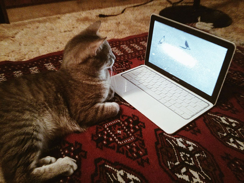 cat-watching-bird-video-on-chromebook-bored-kitty-entertainment
