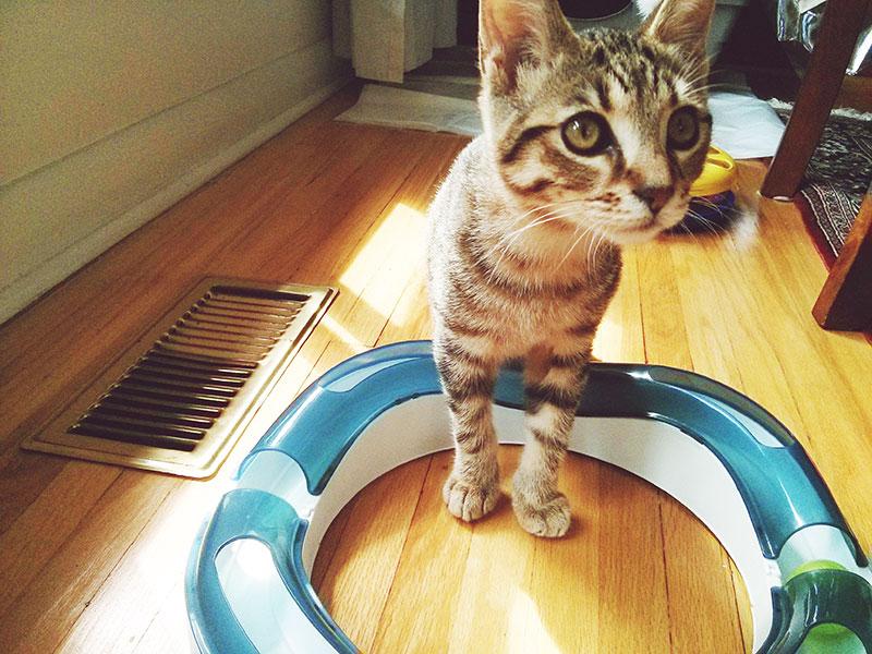 adorable-kitten-huge-eyes-walker