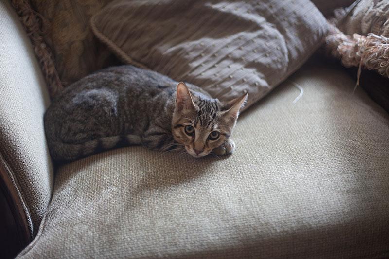 cute-kitty-cat-walker-moms-pet