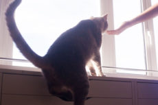 How High Can a House Cat Jump?