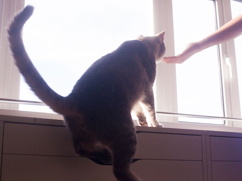 how-high-can-cats-really-jump