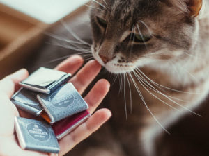 Can Cats Eat Chocolate? Is Chocolate Poisonous to Cats?