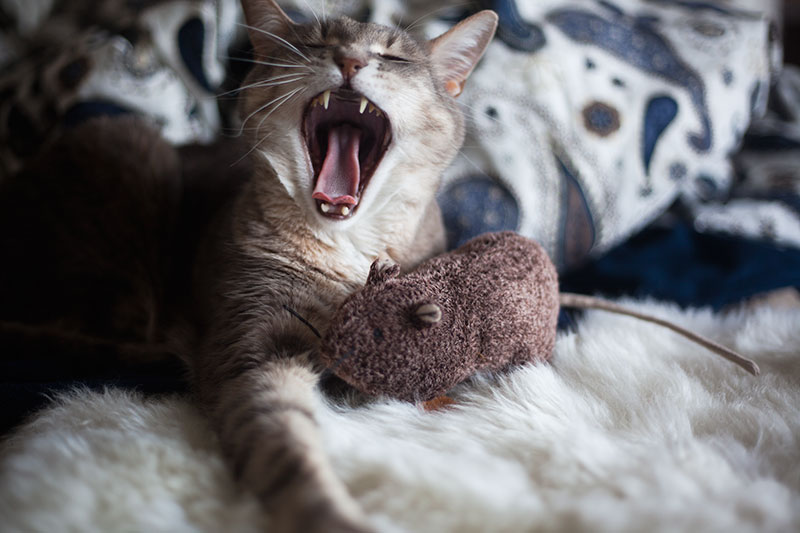 cat-yawn-with-catnip-toy-adorable