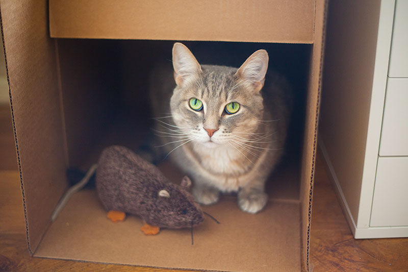 cat-sitting-in-box-next-to-catnip-toy-rat-jeepers-creepers