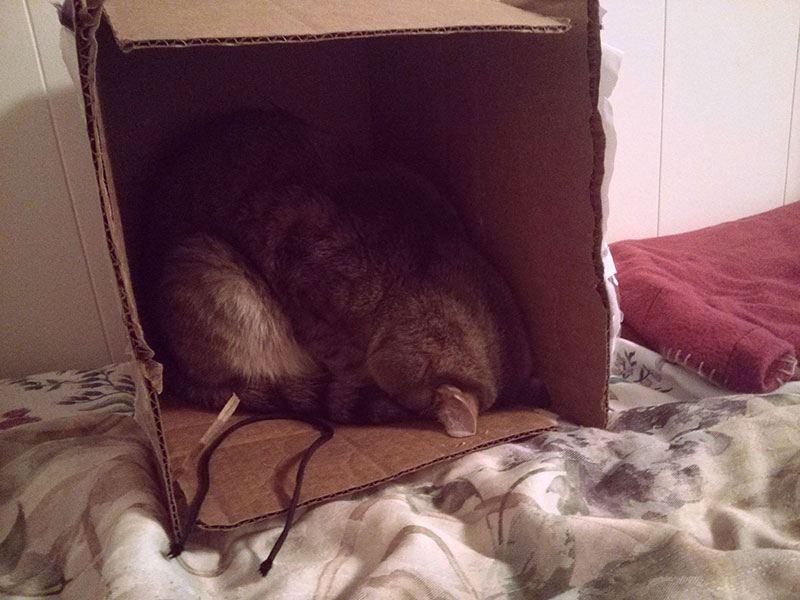 cat-avery-faceplanting-in-cardboard-box