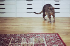 How Fast Can a Domestic Cat Run?