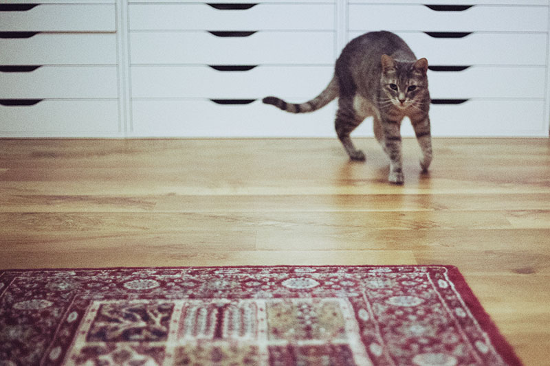 feline-running-speed-how-fast-can-a-domestic-cat-run