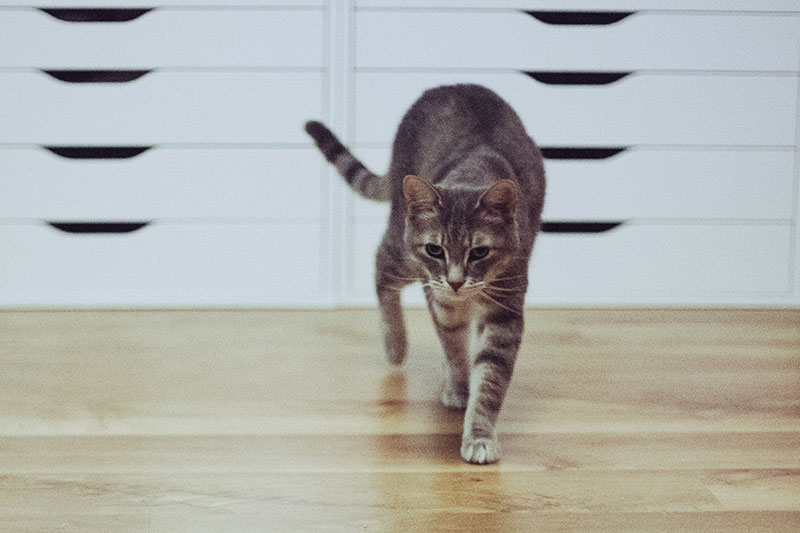 speed-of-a-house-cat-how-fast-can-felines-run