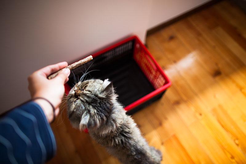 cat-chew-stick-matatabi-silver-vine