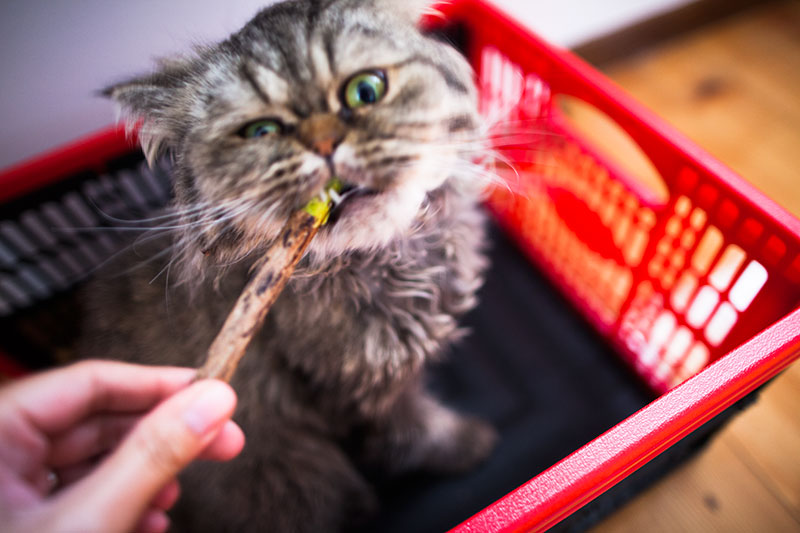 cat-obsessed-with-matatabi-silver-vine-chew-sticks