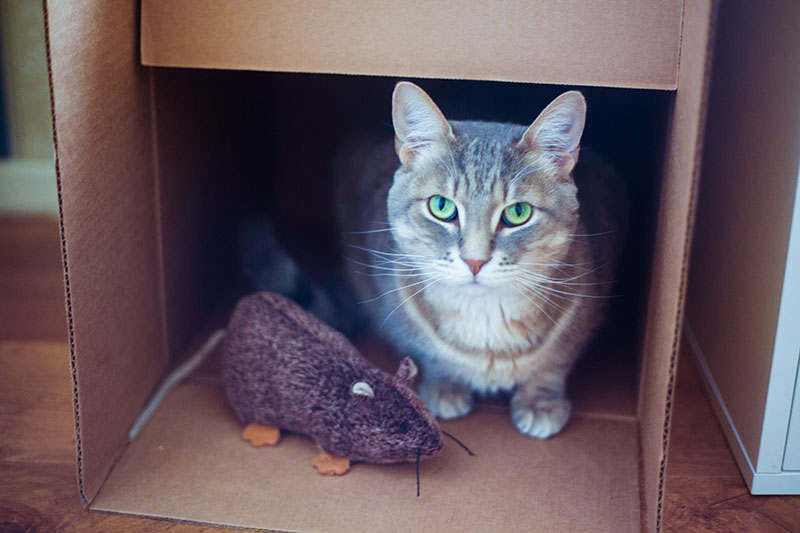 cat-in-cardboard-cat-house