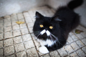 cute-neighbourhood-black-and-white-persian-cat-porthos