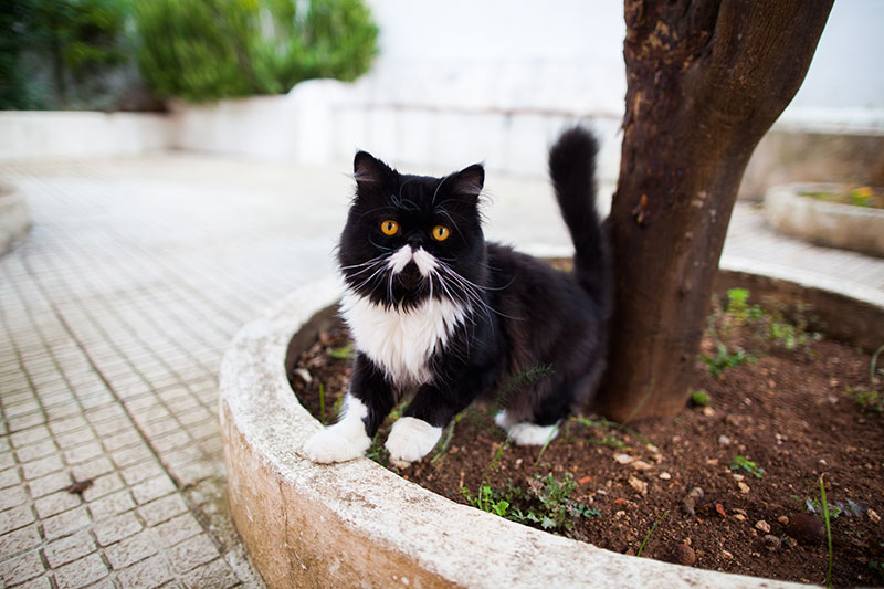 moustache-black-and-white-persian-cat-porthos