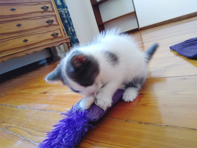 kitten-biting-kong-kickeroo-kitten-catnip-toy