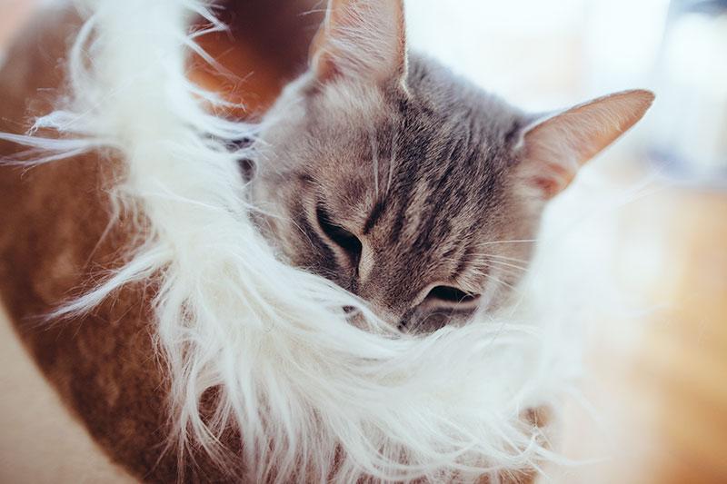 cat-snuggled-up-fluffy-comfy-cozy