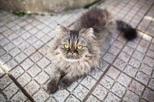 bjorn-half-persian-half-tabby-cat