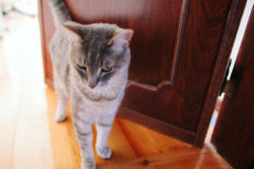 Microchip Cat Doors: Solving Pet Problems from Food Theft to Furry Break-Ins