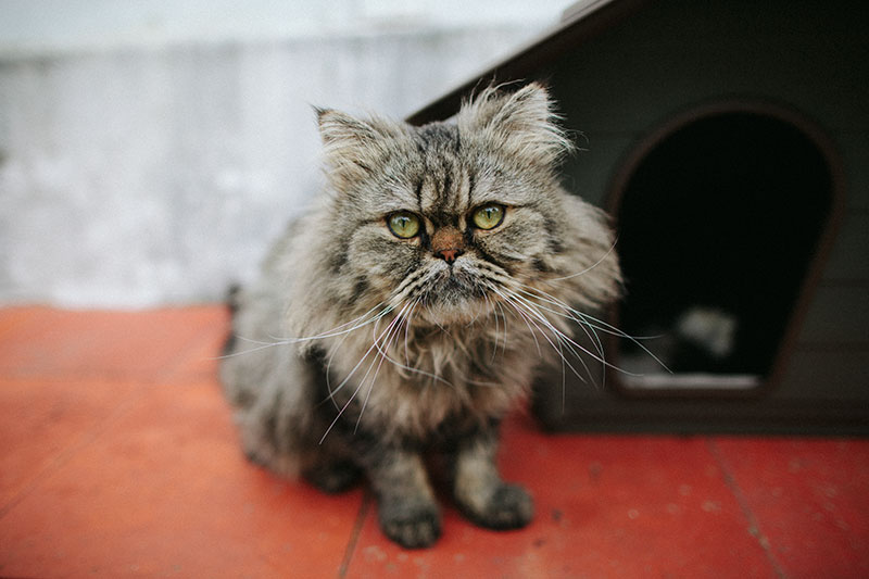 bjorn-half-persian-half-tabby-new-cat
