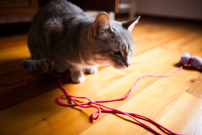why-cats-love-string-like-objects-to-play-with