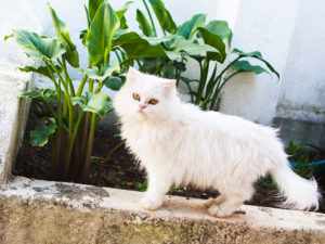 aramis-the-white-persian-cat-three-musketeer