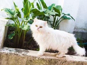 aramis-the-white-persian-cat-three-musketeer