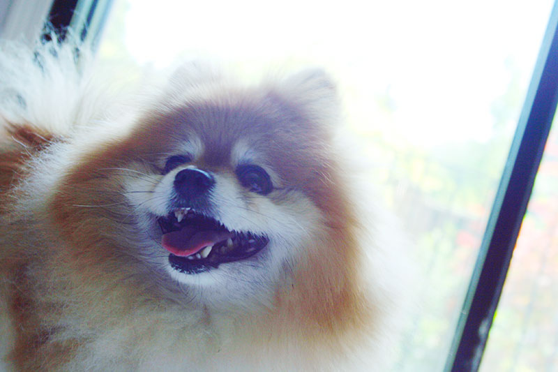 pomeranian-dog-portrait