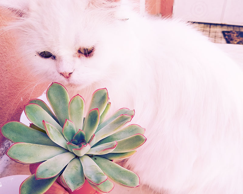 cat-smelling-succulent-echeveria