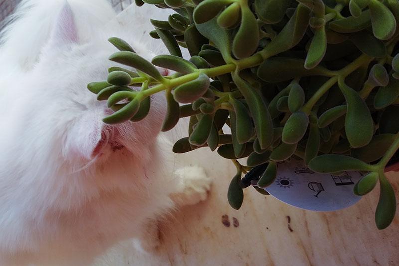 cat-sniffing-crassula-succulent