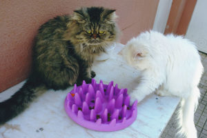 two-cats-eating-at-slow-feeder-pet-bowl
