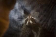 Raccoon-Proof Cat Feeders: Keeping Outdoor & Feral Food Safe
