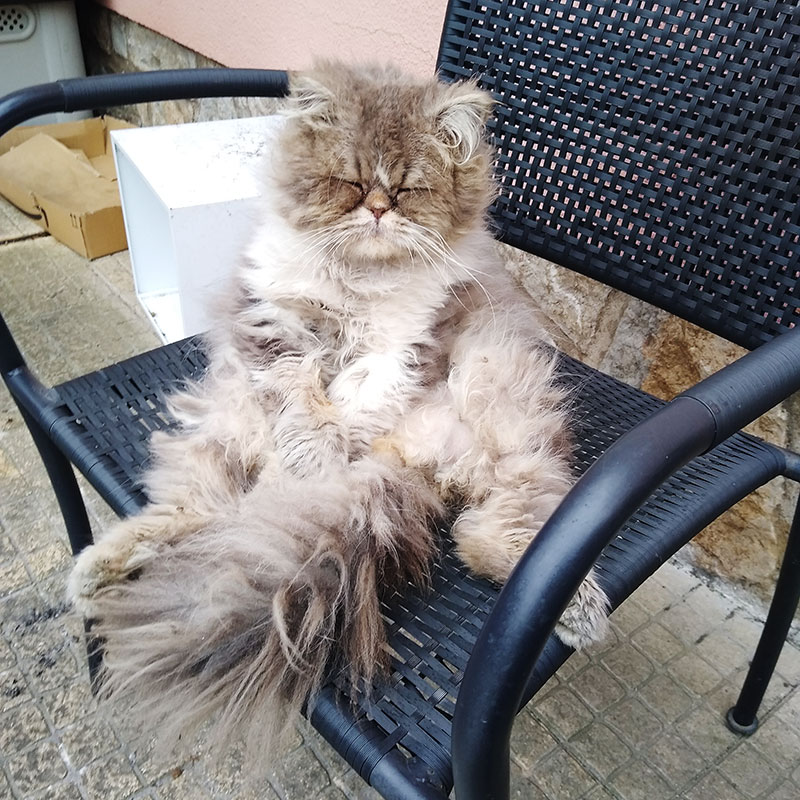 persian-cat-sitting-up-in-chair