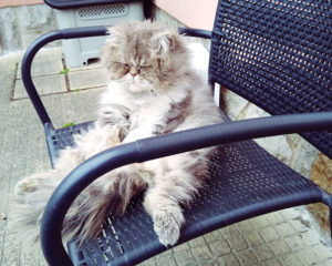 persian-cat-sitting-up-like-human