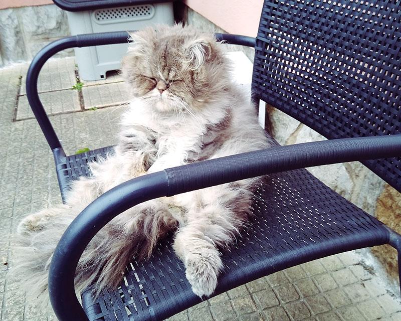 persian-cat-sitting-up-like-human