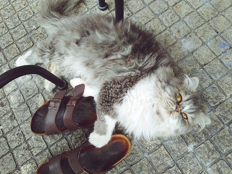 persian-cat-lying-down-next-to-birkenstock-shoes