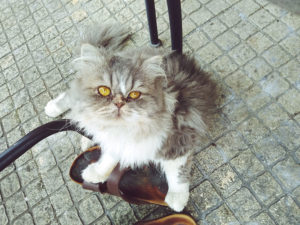 persian-cat-sitting-up-next-to-shoes