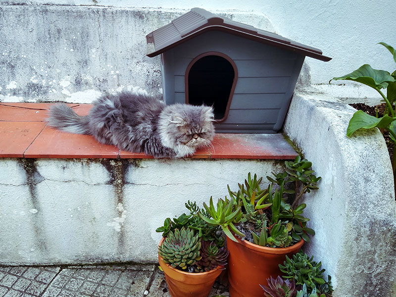 outdoor-persian-sleeping-in-front-of-cat-house