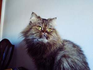 shocked-suprised-looking-cat-persian
