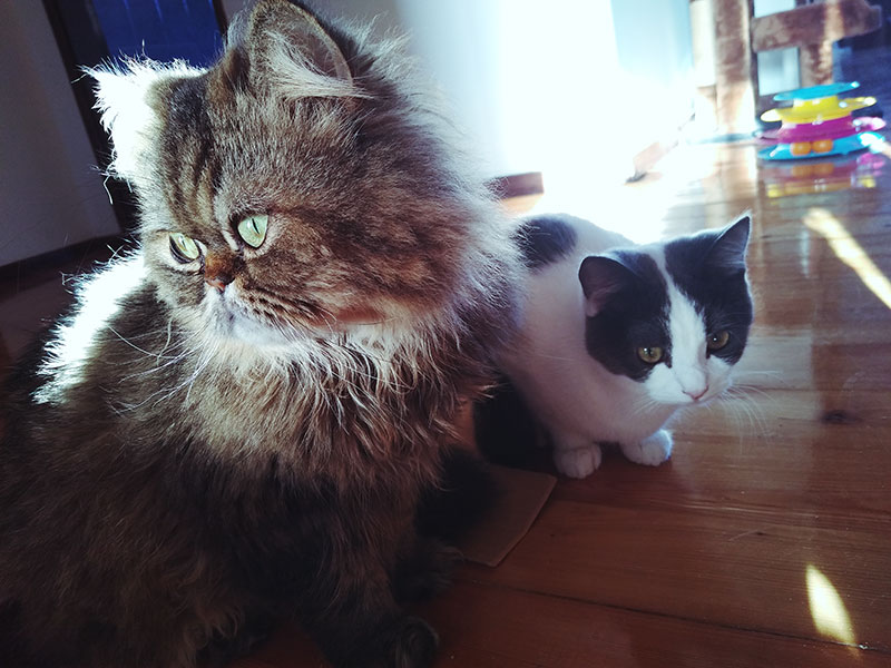 two-cute-cats-getting-along-adult-kitten