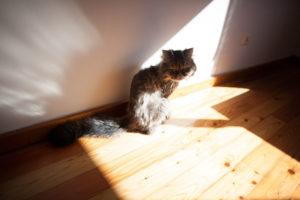bjorn-half-persian-half-tabby-saddest-cat-in-the-world