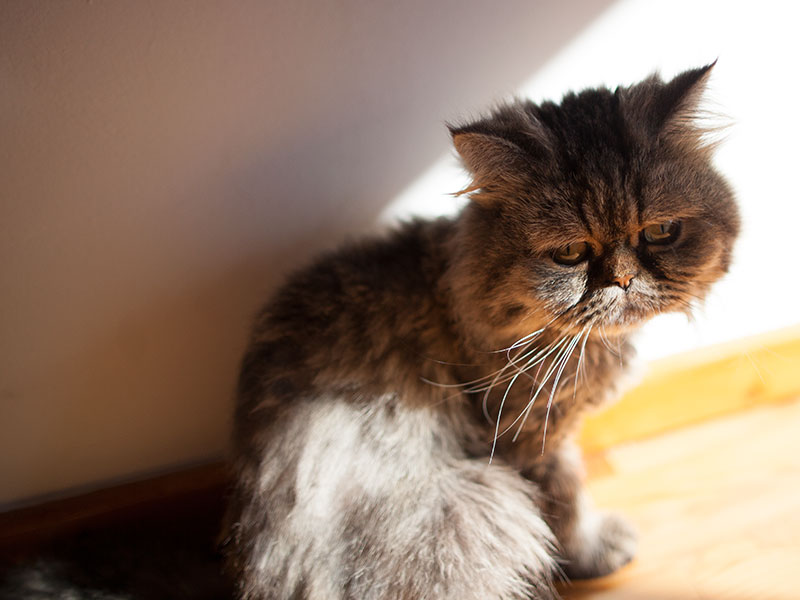 saddest-cat-in-the-world-persian-unhappy-face