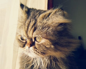 cat-looking-out-window-persian-tabby