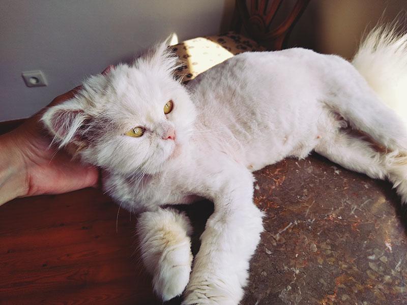 beatiful-shaved-white-persian-cat-being-pet